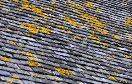 Lichens on a slate roof